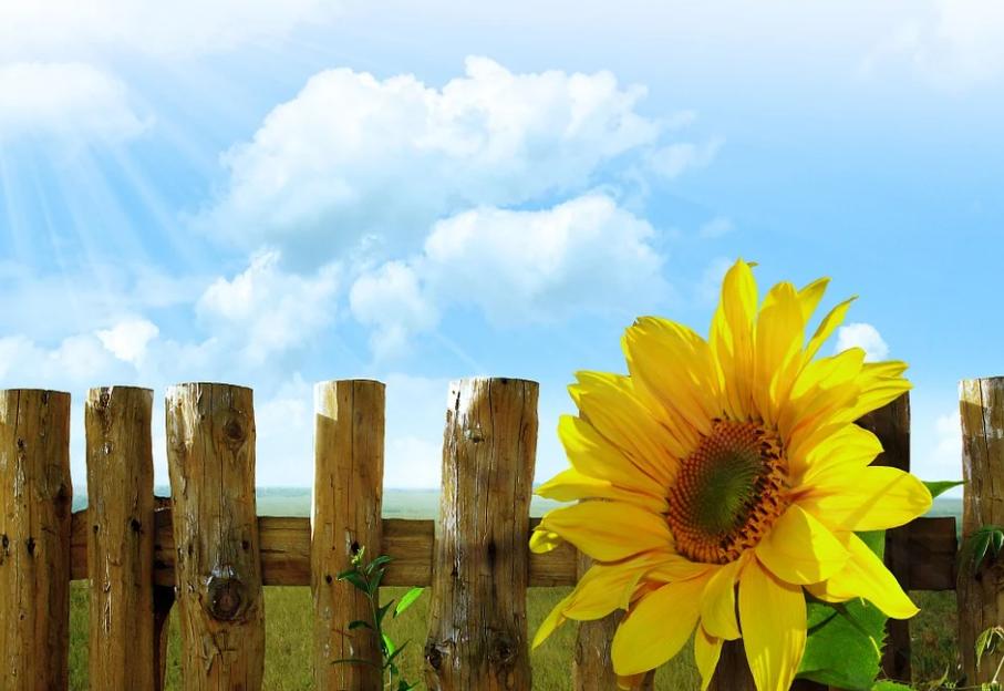slunečnice u plotu